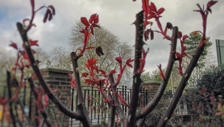 Budding roses, Mobbs Miller House, Abington Park, Northampton, Northamptonshire.